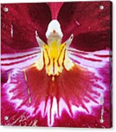 Orchid Pink Yellow White Acrylic Print