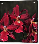 Orchid Red Burrageara Living Fire  Glowing Ember Acrylic Print