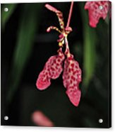 Orchid Red Renanthera Unnamed Acrylic Print