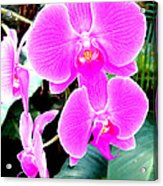 Orchid Series 1 Acrylic Print