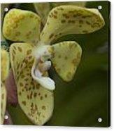 Yellow Dragon Orchid Acrylic Print