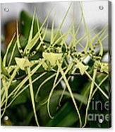 Orchid Spikes Acrylic Print