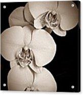Orchid Trio Sepia Acrylic Print