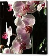 Orchid Tropical Blooms Acrylic Print