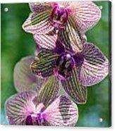 Orchid Two Acrylic Print