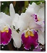 Orchids 198 Acrylic Print