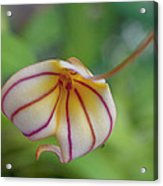 Orchids - Masdevallia Hybrid Acrylic Print
