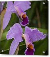 Orchids Pictures 1 Acrylic Print