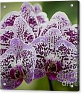 Orchids Pictures 11 Acrylic Print