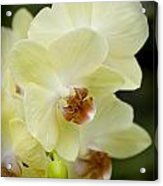 Orchids Pictures 34 Acrylic Print
