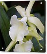 Orchids Pictures 53 Acrylic Print