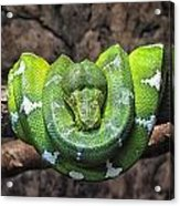 Orderly Snake Acrylic Print