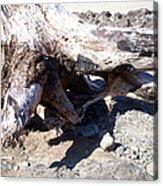 Oregon Beach - Driftwood Trunk Acrylic Print