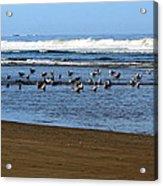 Oregon Coast Seabirds Acrylic Print