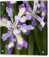 Oregon Irises In Bloom Closeup Acrylic Print