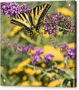 Oregon Swallowtail In The Garden  Acrylic Print