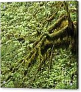 Oregon Tree Acrylic Print