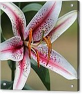 Oriental Lily Named Tiger Edition Acrylic Print