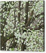Oriental Pear Tree Acrylic Print