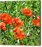 Oriental Poppies Acrylic Print