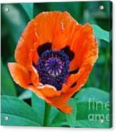 Oriental Poppy Flower Acrylic Print