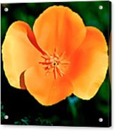 Original Digital Painting Of The California Poppy Acrylic Print