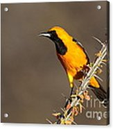 Oriole On Ocotillo Acrylic Print
