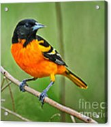 Oriole Perched Acrylic Print