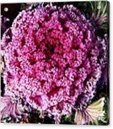 Ornamental Cabbage Plant Acrylic Print