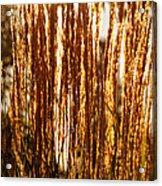 Ornamental Golden Grass Acrylic Print