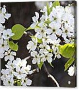 Ornamental Pear Blossoms No. 1 Acrylic Print
