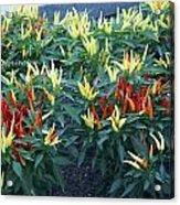 Ornamental Peppers...   # Acrylic Print