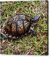 Box Turtle Acrylic Print