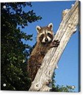 Orphaned Raccoon Acrylic Print
