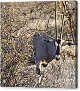 Oryx Long Horned Antelope Acrylic Print