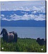 Osa Cattle Acrylic Print