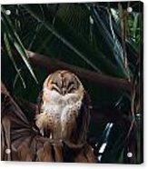 Oscar The Barn Owl Acrylic Print