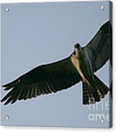 Osprey Above The Androscoggin Acrylic Print