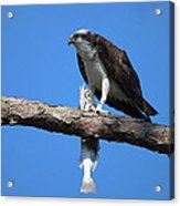 Osprey And Fish No.4  Acrylic Print