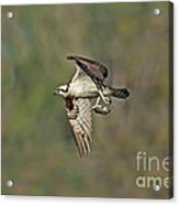 Osprey Carrying Small Fish Acrylic Print