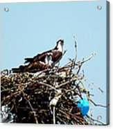 Osprey Couple Acrylic Print