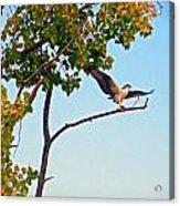 Osprey Dance Acrylic Print