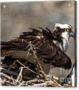 Osprey Family Huddle Acrylic Print