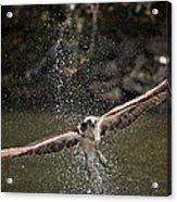 Osprey Fishing The Nequasset River Acrylic Print by Allen Ponziani