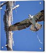 Osprey Fly By Acrylic Print