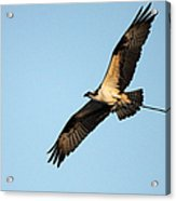Osprey Flying With Nesting Material Acrylic Print