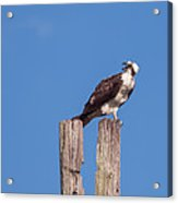 Osprey Giving Warning Acrylic Print