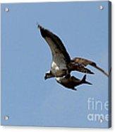Osprey Grabs Lunch Acrylic Print