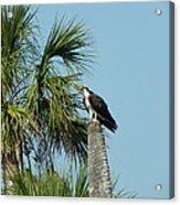 Osprey Heaven Acrylic Print