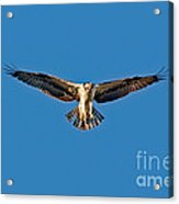 Osprey Hovering Acrylic Print